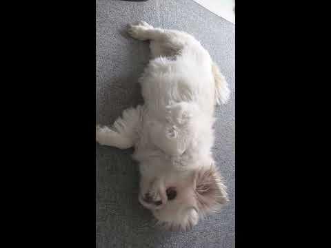 【可愛い犬】白ペキニーズの午後はゴロゴロタイム