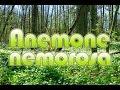Valkovuokko | Anemone nemorosa @Finland
