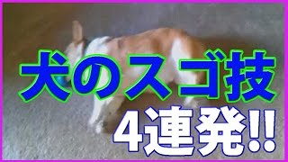 特殊な動きに思わず驚いてしまう、犬の映像4連発です。 ---------------...