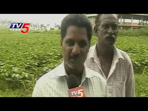 Farmers Overcome Water Crisis By Crop Rotation   Guntur   Annapurna   TV5 News