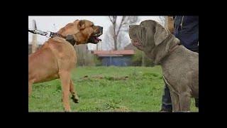 Presaは従順で親切な犬です。彼らは素晴らしい家族の保護者であり、家族...