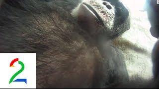 Se sjimpansen Julius filmer seg og flokken!  Dyrepasserne TV 2 thumbnail