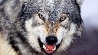 Волки против Бизонов Дикая Природа