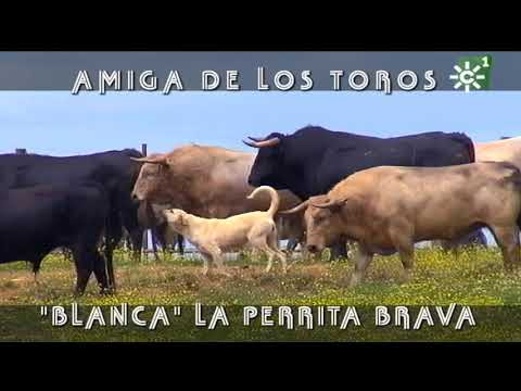 "PGM 497  Los toros amigos de ""BLANCA"" PERRITA BRAVA PRIETO DE LA CAL"