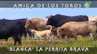 PGM 497  Los toros amigos de