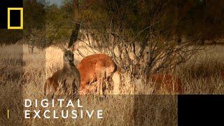 Kangaroos vs. Dingos from The Kangaroo King on Nat Geo WILD