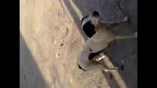 acrobacia canina