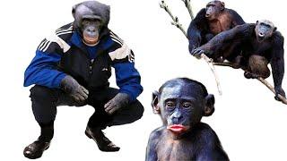 Обезьяны бонобо выбирают хулиганов. Интересные факты о животных и антисоциальный выбор в эволюции.