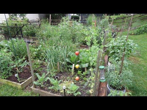 Garden Tour 3: A Full Tour with Transplant, Radish, Squirrel, Pollinator, Disease & Fig Tips