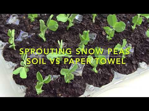 Two Methods of Sprouting Snow Peas. Which method is better? Let us find out! Video 2