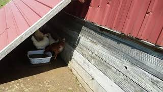 Last and final coop expantion step. They all live together