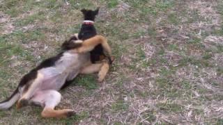German Shepherd And Miniature Pinscher Puppies Loving Life