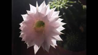 Cactus Flower - Marlene Dietrich