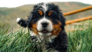 Meet our 8 Adorable Bernese Mountain Dog Puppies! 7 weeks old!