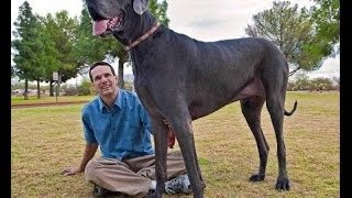 Самая огромная собака в мире -  Датский дог