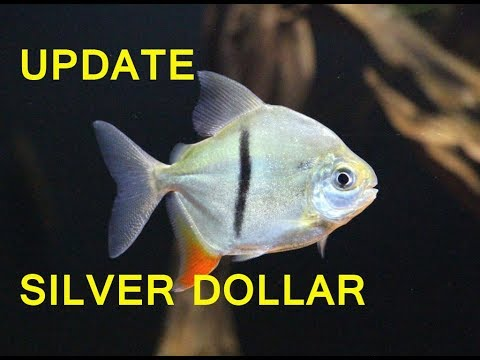 Update Ikan Silver Dollar