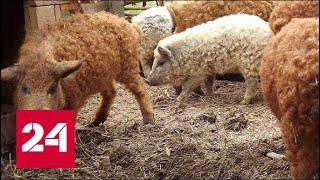 Пушистые свиньи - похожи на овец, повадки как у собак - Россия 24