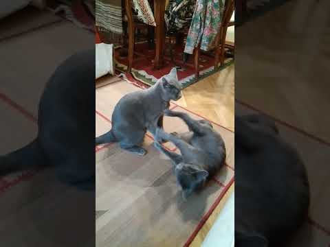 Chartreux Cats fight