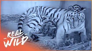 Rare Tiger Quadruplet Birth Captured On Camera | Nature's Newborns | Real Wild