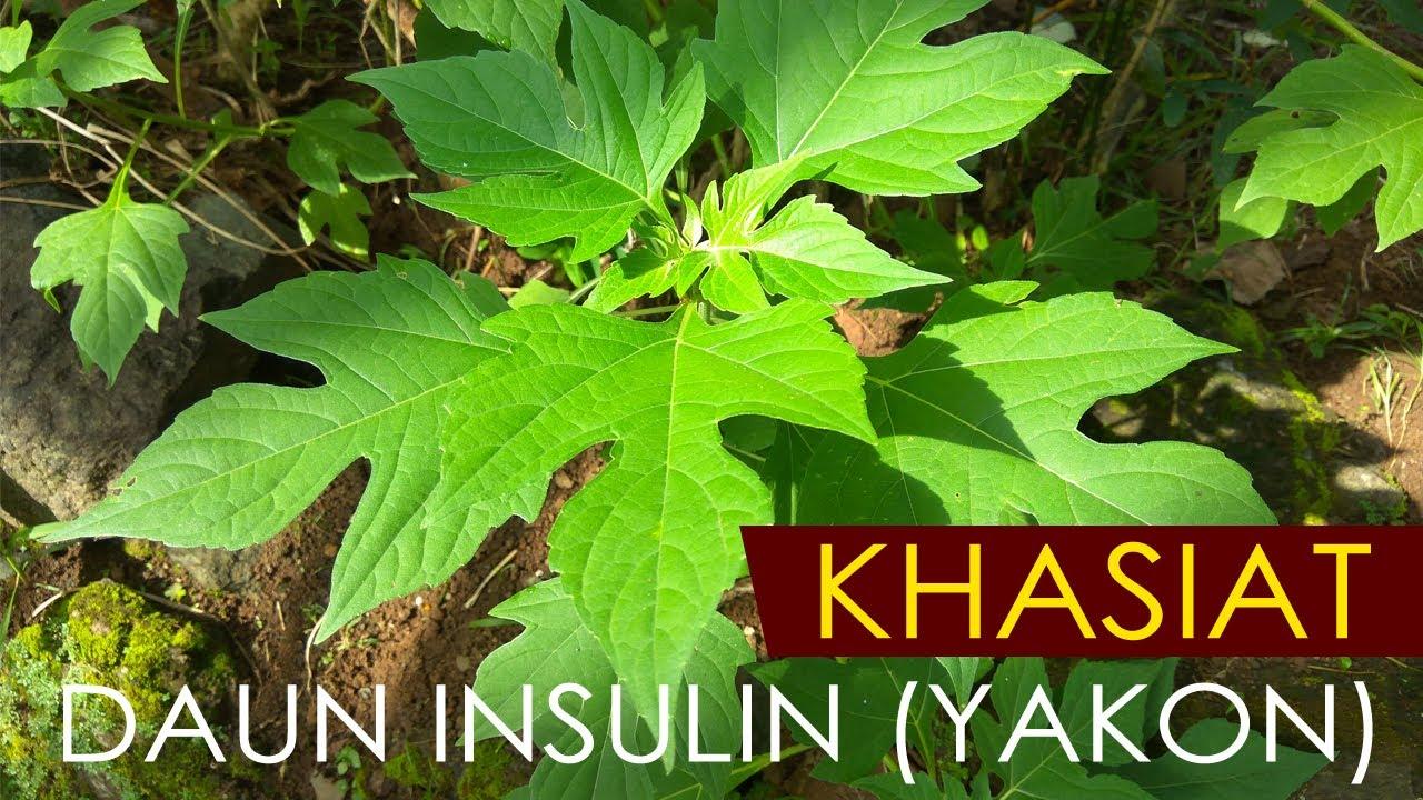 insulina daun untuk obat diabetes yang