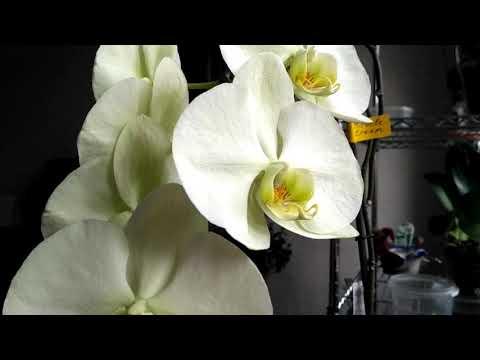 Обзор орхидеи с крупными цветами Miracle Cream. Салатовая орхидея растит листик! Тонкий мир орхидей.