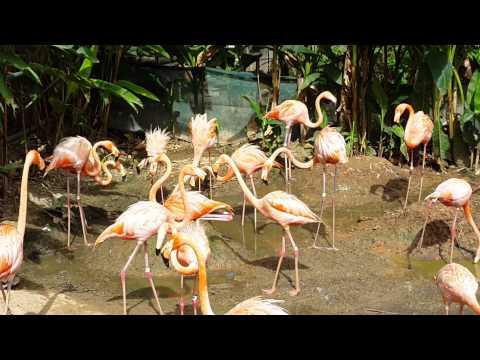 ZOO CAM: Caribbean Flamingos at Zoo