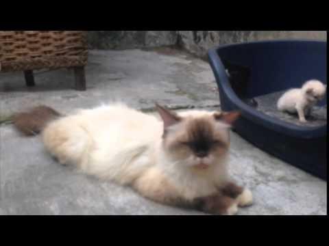 Jual Kucing Ragdoll Jakarta Youtube