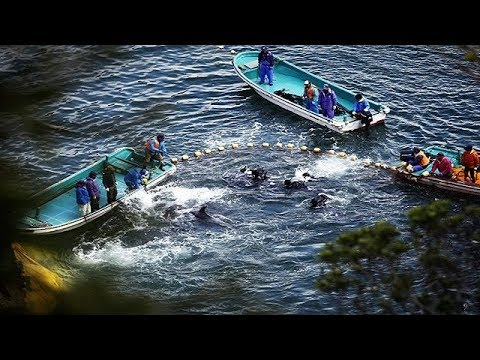 Killing Dolphins in The Cove Taiji Japan