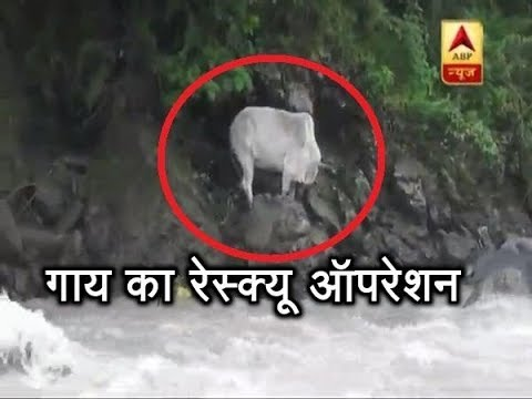 Uttarakhand: Watch How A Cow Was RESCUED In Chamoli | ABP News