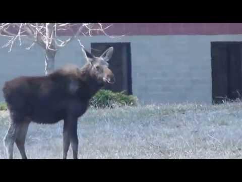 Moose Calf Sterling Ma  Baby Moose