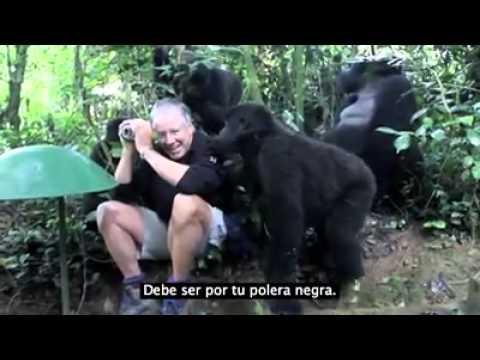 hombre tiene encuentro con familia de gorilas