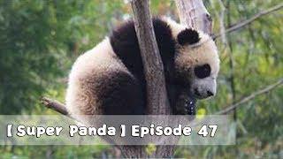 【Super Panda】Episode 47 | iPanda