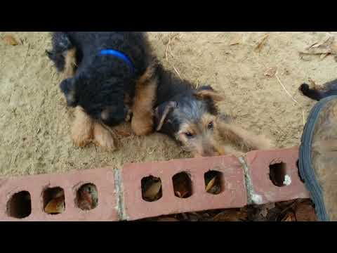 Happy Fire Pit  Airedale Terrier Puppies for Sale on December 18, 2017