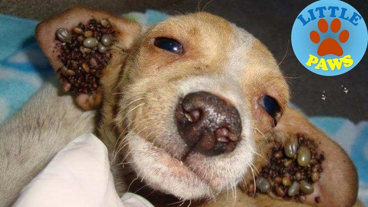Brown dog tick infestation - photo#51