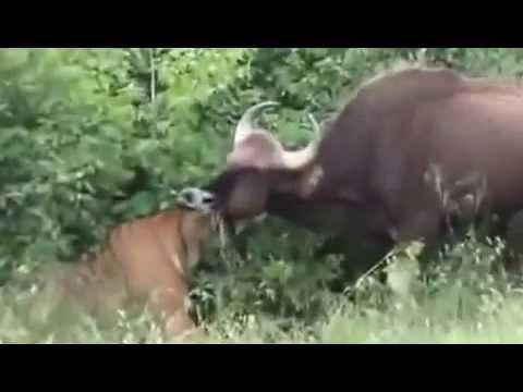 Hổ bengal ăn thịt bò tót