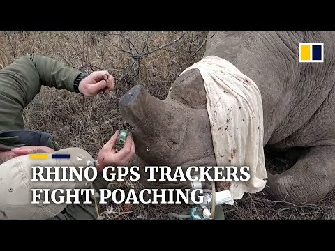 Rhinos get miniature GPS trackers to combat poaching