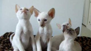 Siamese Kittens head rocking!! Thumbnail