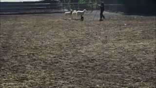 Pit Bull Puppy Herding Sheep #2