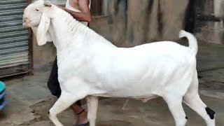 Big Andu Goat at Nagaur City Rajasthan by Asif STD STAR GOATS FARM