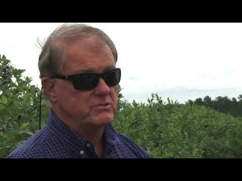 Ivanhoe Blueberry Farms