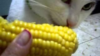 Кот  Ури любит кукурузу.