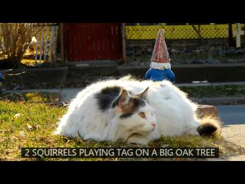 On Turkish Van Cat Time HD1080 38 minutes LIVE ACTION