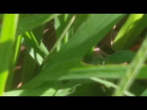 Indian grass hopper hiding  inside grass in bangalore (india)