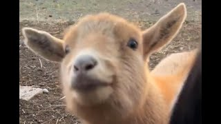 [New 2019] CUTE!!!! Baby Goats Compilation