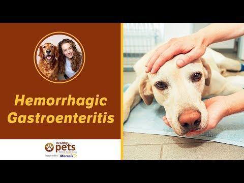 Dr. Becker Discusses Hemorrhagic Gastroenteritis