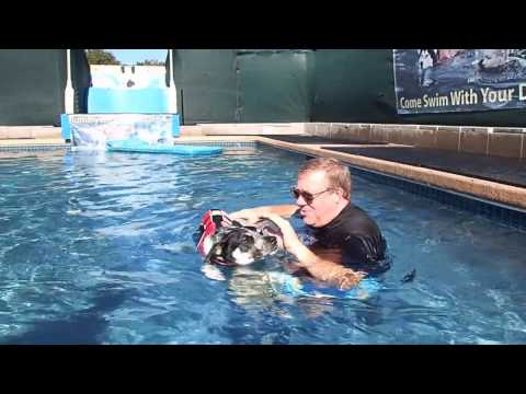 Standard Poodles & 2 mixed breed dogs are BFFs and love to swim & play together