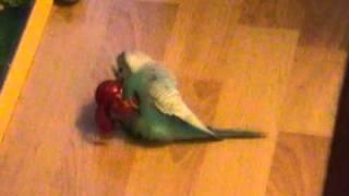 Bakugan vs sex crazy Parrot (Budgie)