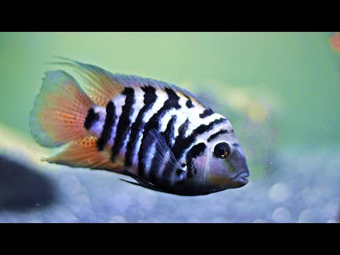 Get Convict Cichlids. Here's Why.