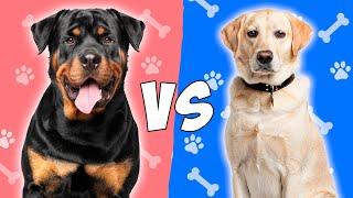 Rottweiler vs Labrador Retriever en ESPAÑOL