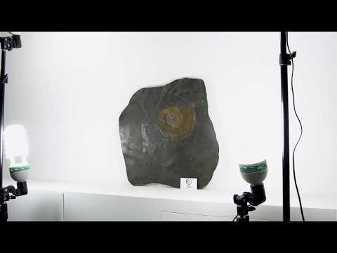 Pyrite Ammonoid In Holzmaden Shale